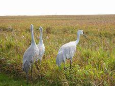 Free Three Sandhill Cranes Stock Images - 18843004
