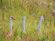 Free Three Sandhill Cranes Stock Images - 18843024