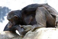 Free Chimpanzee Royalty Free Stock Photography - 18845147