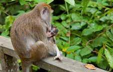Free Macaca Fascicularis With Child Royalty Free Stock Images - 18847719