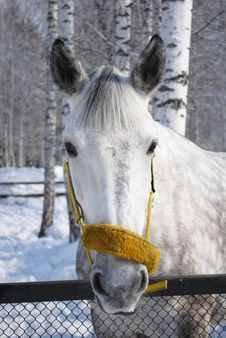 Free Grey Horse 2 Royalty Free Stock Photography - 18849267