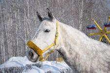 Free Grey Horse 4 Royalty Free Stock Photos - 18849308