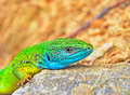Free Green Lizard With Blue Mouth Stock Photo - 18854770