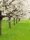 Free Blossoming Tree Royalty Free Stock Photography - 18855567