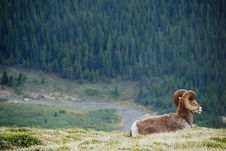Free Bighorn Sheep Royalty Free Stock Images - 18850689