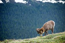 Free Bighorn Sheep Stock Image - 18850851