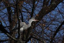 Free Grey Heron (Ardea Cinerea) Royalty Free Stock Photos - 18851738