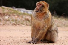 Macaque Portrait Royalty Free Stock Photos