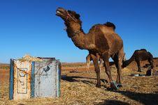 Free Camel In The Sahara Desert Stock Photo - 18852860