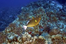 Free Trigger Fish Royalty Free Stock Photography - 18857967