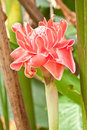 Free Torch  Ginger Royalty Free Stock Photography - 18861587