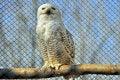 Free White Owl Royalty Free Stock Image - 18869486
