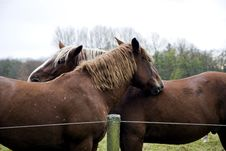 Free Pair Of  Horses Royalty Free Stock Image - 18861296