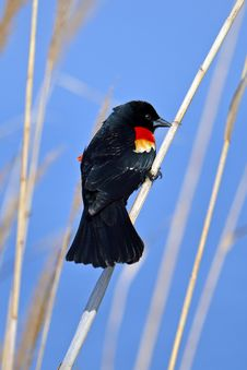 Red-winged Black Bird Stock Photography