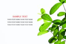 Free Leaves Royalty Free Stock Photo - 18861565