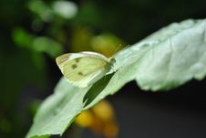 Free Adult Cabbage White Butterfly Stock Photos - 18861903