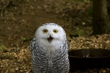 Free Snowy Owl On Dark Background Royalty Free Stock Image - 18862726