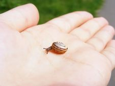 Snail On Hand Royalty Free Stock Photos