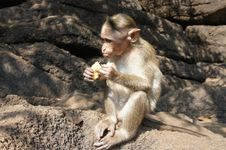 Free The Little Monkey Eating A Banana Royalty Free Stock Image - 18864446