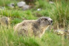 Free Marmot In The Alps Stock Photography - 18866712