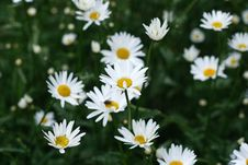 Free White Camomile Royalty Free Stock Images - 18867039