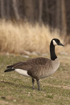 Free Spring Canadian Goose Royalty Free Stock Images - 18868559