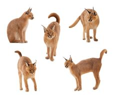 Caracal Cat Stock Images