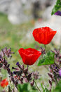 Free Red Poppies Stock Images - 18870884