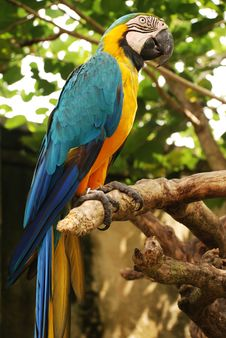 Free Big Parrot (Green Wings Macaw) Royalty Free Stock Image - 18870966