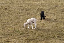 Free Black And White Twin Lambs Royalty Free Stock Image - 18872186