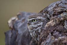 Free Little Owl Stock Photo - 18872590