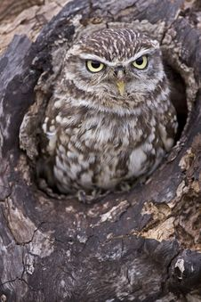 Free Little Owl Stock Photography - 18872852