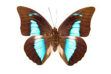 Free Black And Blue Butterfly Prepona Demophon Stock Image - 18875071