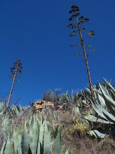 Free Agave Royalty Free Stock Image - 18875376