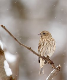 House Finch, Carpodacus Mexicanus Stock Photos