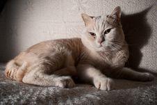 Free British Cat Stock Photo - 18877630