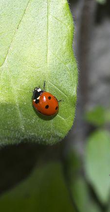 Free Ladybug Royalty Free Stock Photos - 18878438
