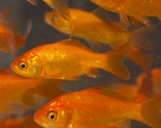Free Red And Gold Fishes Royalty Free Stock Photos - 18878868