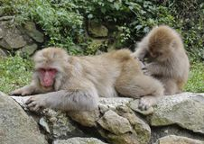 Free Japanese Macaque Couple Royalty Free Stock Photography - 18879127