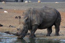 Free White Rhino Drinking Royalty Free Stock Image - 18879166