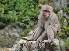 Free Japanese Macaque Sitting On Rock Stock Photo - 18879220