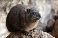 Free Rock Hyrax Stock Photos - 18879413