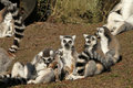 Free Group Of Ring-tailed Lemurs With Baby S Stock Photos - 18884653