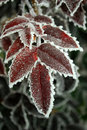 Free Red Leafs Covered In Ice Stock Photography - 18889362