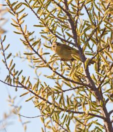 Free Chiffchaff With Blooming Tree Stock Photos - 18881023