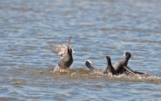 Free The Battle Of The Coots Royalty Free Stock Photography - 18881147