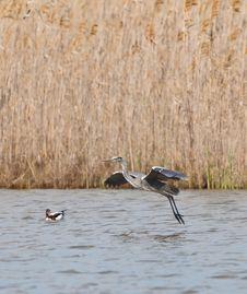 Free Grey Heron Landing On Water Royalty Free Stock Photography - 18881177
