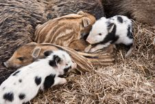 Free Piglets Stock Photos - 18881723