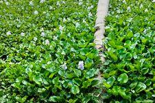 Free Water Hyacinth Stock Photos - 18881903