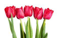 Free Tulips Stock Photo - 18882090